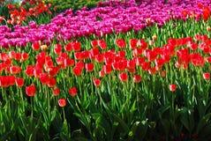 Gebied van tulpen, leuke tulpen, Stock Fotografie