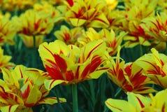 Gebied van tulpen, leuke tulpen Stock Fotografie