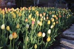 Gebied van tulpen met bank op achtergrond royalty-vrije stock afbeelding