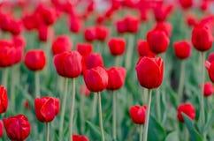 Gebied van tulpen met vage achtergrond Stock Foto's