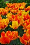 Gebied van tulpen, tulpen leuke, kleurrijke tulpen Royalty-vrije Stock Foto's