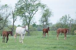 Gebied van Veulennen Royalty-vrije Stock Afbeeldingen