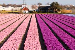 Gebied van violette en roze bloemen Stock Foto