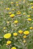 Gebied van vrij gele paardebloemen Achtergrond stock afbeelding