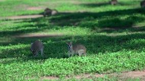Gebied van Wallaby in Opdrachtstrand, Australië stock footage