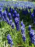 Gebied van Wild Hyacinth Blossoms Close Up stock foto