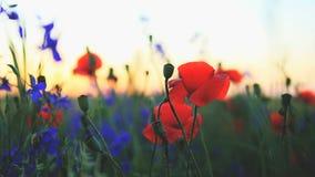 Gebied van wilde bloemen op een zonsondergang stock videobeelden