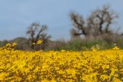Gebied van wilde gele bloemen stock foto's