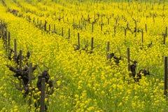 Gebied van wilde mosterd in bloei bij een wijngaard in de lente, Sonoma-Vallei, Californië royalty-vrije stock afbeeldingen
