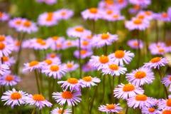Gebied van wilde violette bloemen Stock Afbeeldingen