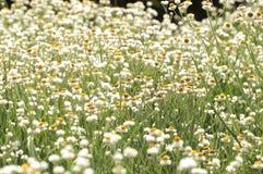 Gebied van witte bloemen Stock Foto's