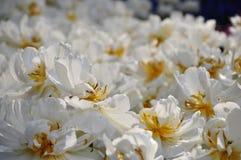 Gebied van witte bloemen met dauw Stock Foto's