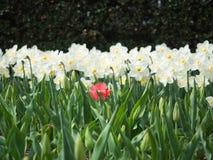 Gebied van witte Gele narcissen met één roze Tulp royalty-vrije stock foto