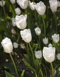 Gebied van witte tulpen Stock Afbeelding