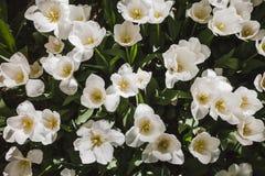 Gebied van witte tulpen Royalty-vrije Stock Afbeelding