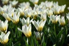 Gebied van witte tulpen stock foto's
