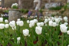 Gebied van witte tulpen in het tuincentrum royalty-vrije stock foto's