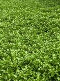 Gebied van witte waterkersaanplanting Stock Afbeelding