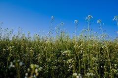 Gebied van witte wilde bloemen Royalty-vrije Stock Afbeelding