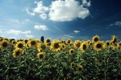 Gebied van zonnebloem royalty-vrije stock foto
