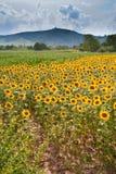 Gebied van zonnebloem met bergachtergrond Stock Foto