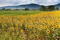 Gebied van zonnebloem met bergenachtergrond Royalty-vrije Stock Afbeelding