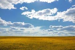 Gebied van zonnebloem tegen de blauwe bewolkte dag van de hemelzomer Stock Foto's