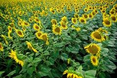 Gebied van zonnebloemen Royalty-vrije Stock Foto's