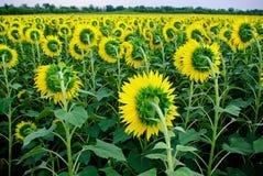 Gebied van zonnebloemen Royalty-vrije Stock Fotografie