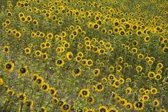 Gebied van zonnebloemen. stock afbeeldingen