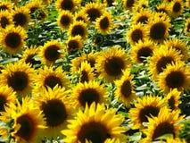 Gebied van zonnebloemen Royalty-vrije Stock Afbeelding