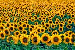 Gebied van zonnebloemen Royalty-vrije Stock Foto