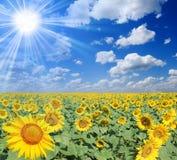 Gebied van zonnebloemen Stock Foto's