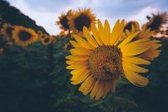 Gebied van zonnebloemen bij zonsondergang Stock Foto's