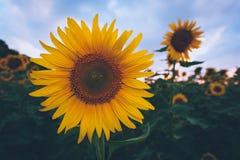 Gebied van zonnebloemen bij zonsondergang Stock Afbeeldingen