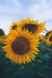 Gebied van zonnebloemen bij zonsondergang Stock Foto