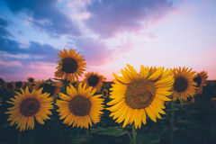 Gebied van zonnebloemen bij zonsondergang Stock Afbeelding