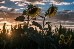 Gebied van zonnebloemen bij zonsondergang Royalty-vrije Stock Afbeeldingen