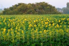 Gebied van zonnebloemen bij zonsopgang Stock Foto
