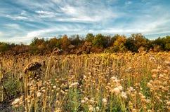 Gebied van zonnebloemen in dalingstijd met blauwe hemel royalty-vrije stock foto's