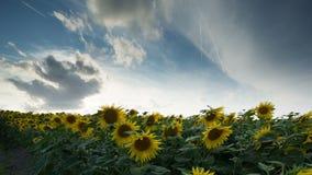 Gebied van zonnebloemen in de zomer stock video