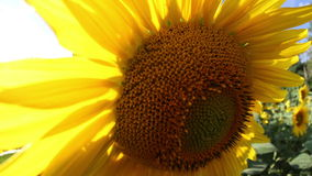 Gebied van zonnebloemen in de zomer stock footage