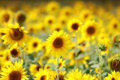 Gebied van zonnebloemen in de zomer Stock Foto