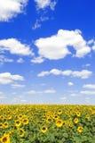 Gebied van zonnebloemen en blauwe hemel stock afbeelding