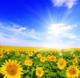 Gebied van zonnebloemen en blauwe zonhemel Royalty-vrije Stock Afbeeldingen