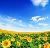 Gebied van zonnebloemen en blauwe zonhemel Royalty-vrije Stock Foto