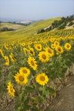 Gebied van zonnebloemen en rollende heuvels. royalty-vrije stock foto
