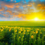 Gebied van zonnebloemen en zonsopgang Royalty-vrije Stock Afbeeldingen