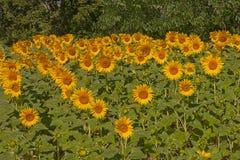 Gebied van zonnebloemen Royalty-vrije Stock Afbeeldingen