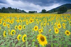 Gebied van zonnebloemen in Mijaraluenga Stock Foto